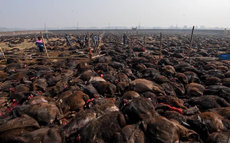 Nepal sacrifica 6 mil búfalos en ritual