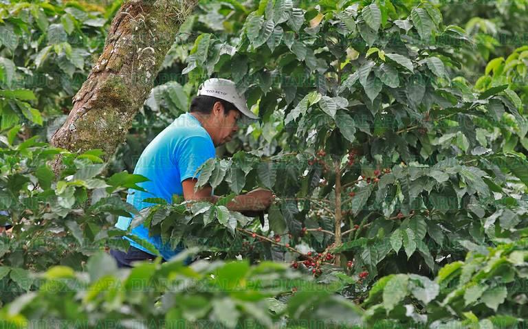 Crisis en precios del café, pagan el kilo a tres pesos