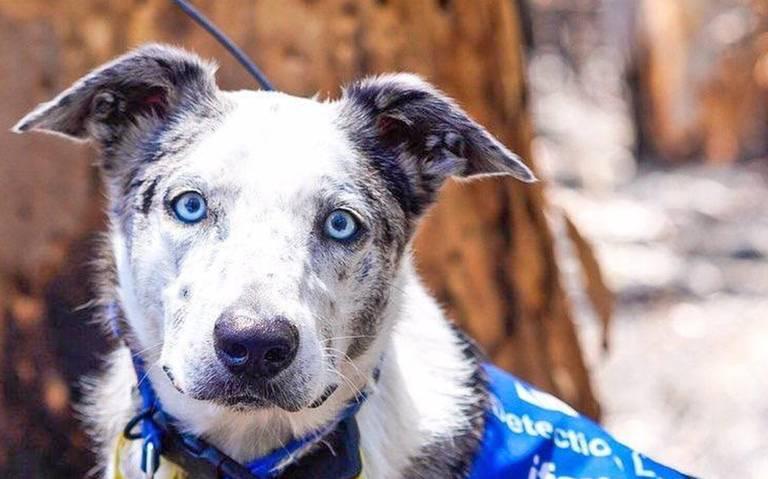 """Conoce a """"Oso"""", el perrito que rescata a koalas de los incendios en Australia"""