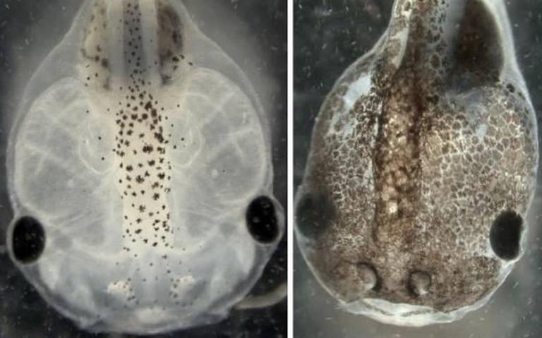 "Diseñan ""microrobots vivos"" desde células de rana"