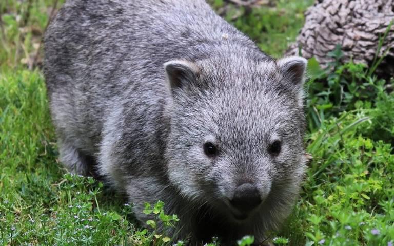 ¿Por que los wombats son los grandes héroes tras los incendios en Australia?