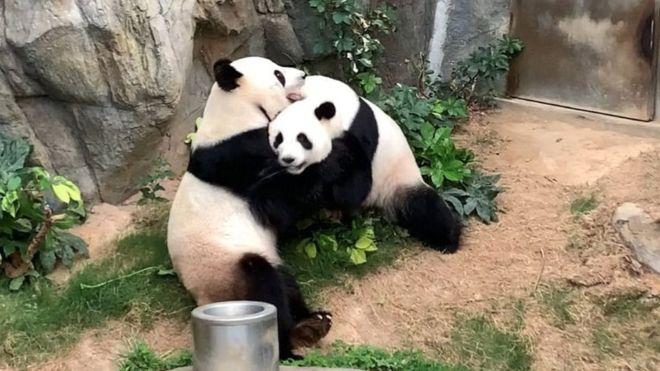 Pandas aparean en zoológico después de 10 años
