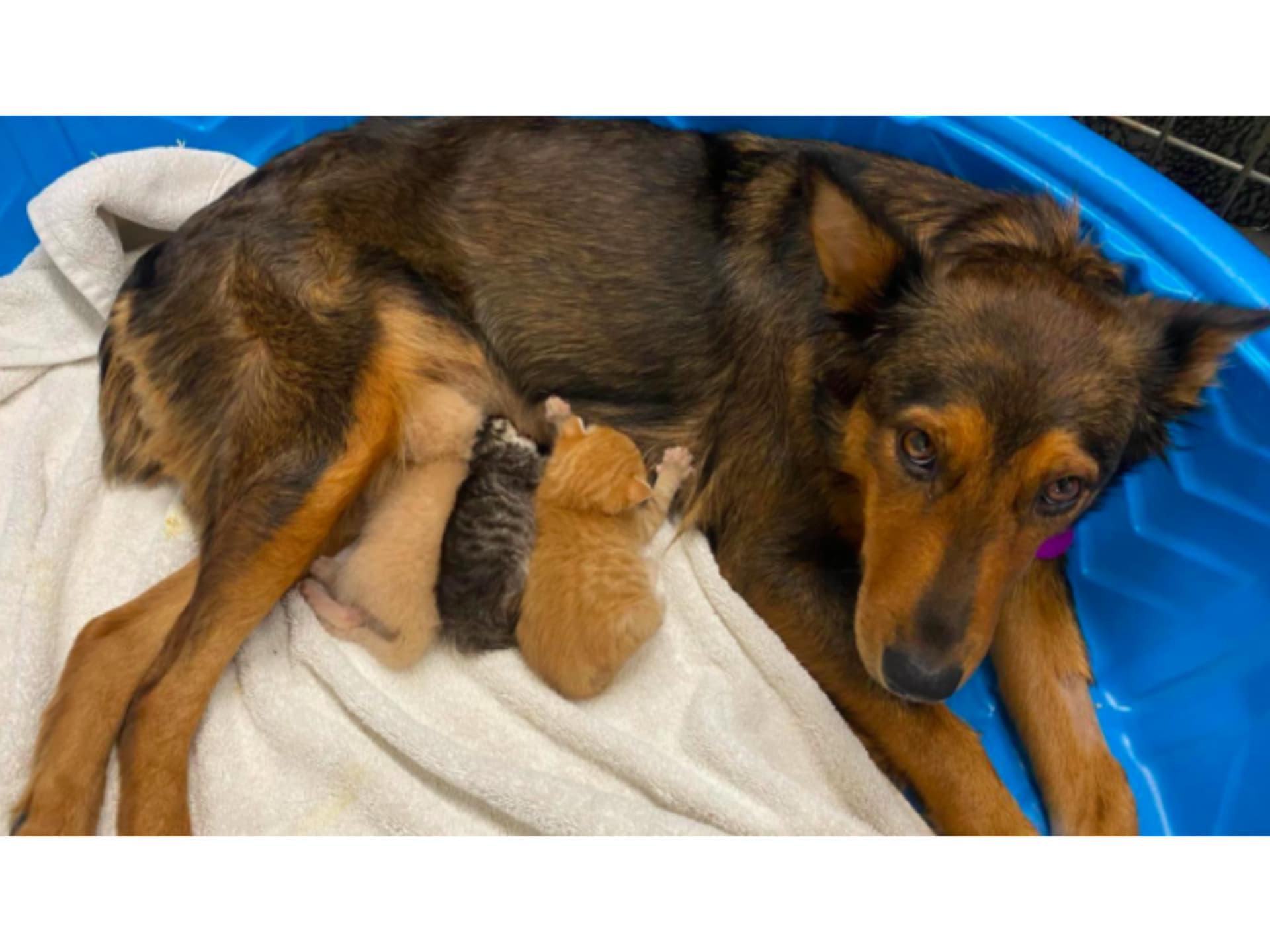 Geogia, perra rescatada que adoptó a tres gatitos