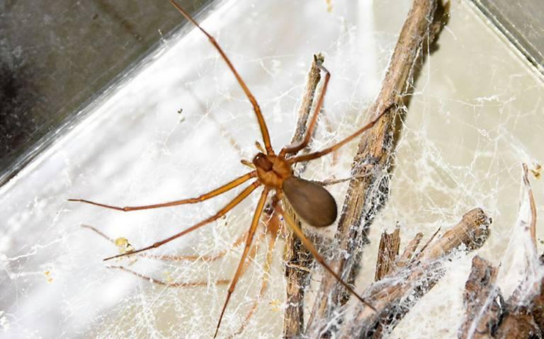 Plaga de arañas violinistas puede incrementar ante lluvias en la capital