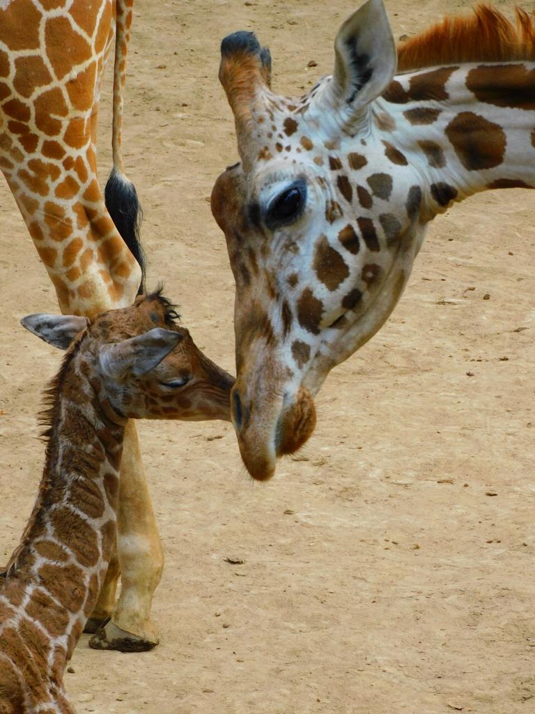 Nace jirafa en Chapultepec