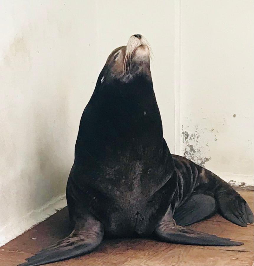 Lobo marino más longevo de San Juan de Aragón recibe atención médico-veterinaria permanente