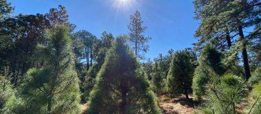 Arranca en la Ciudad de México temporada de corte y venta de árboles navideños