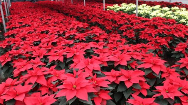 Reportan productores de Nochebuena avance del 80% en ventas