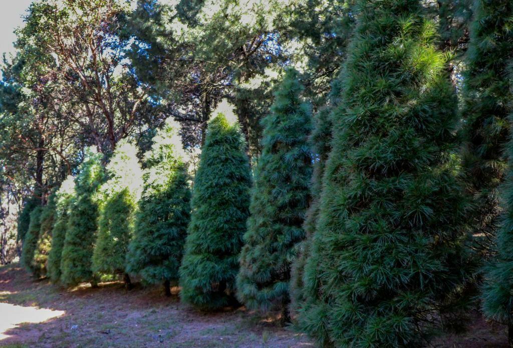 Sedema invita a reciclar árboles de Navidad