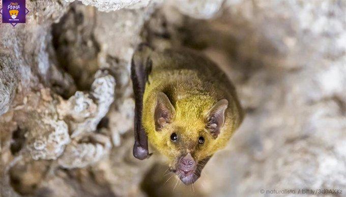 Expertos de la UNAM documentan la presencia de murciélagos de nariz larga en zonas de la Ciudad de México