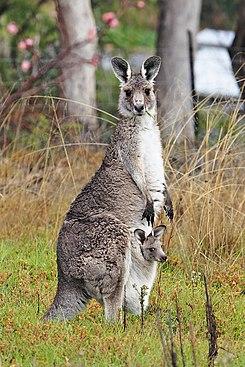 Presentará Profepa denuncia penal por muerte de dos canguros en parque zoológico de monterrey, nuevo león