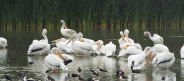 Arriban más de 200 pelícanos blancos al Bosque de San Juan de Aragón