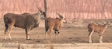 """Fallece antílope """"Dragón"""", del Zoológico de San Juan de Aragón"""