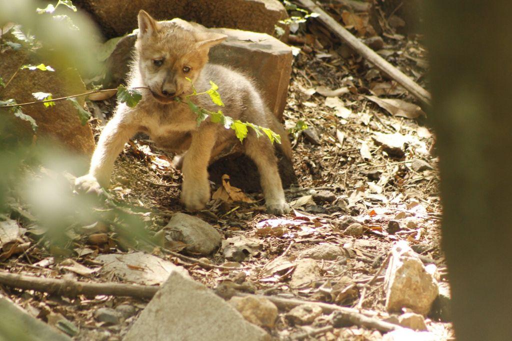 Nace una camada de lobos mexicanos en el Zoológico de Chapultepec