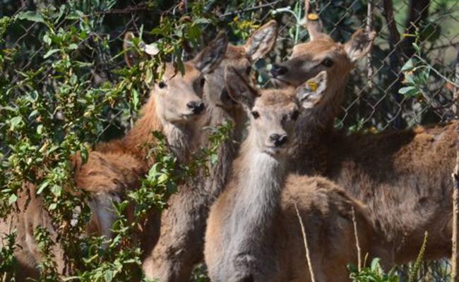 Inicia en Michoacán unidad de  manejo sustentable de ciervo rojo