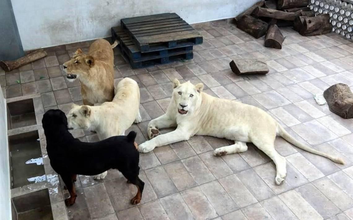 Mascota casual: hombre mantenía en su azotea a tres enormes leones