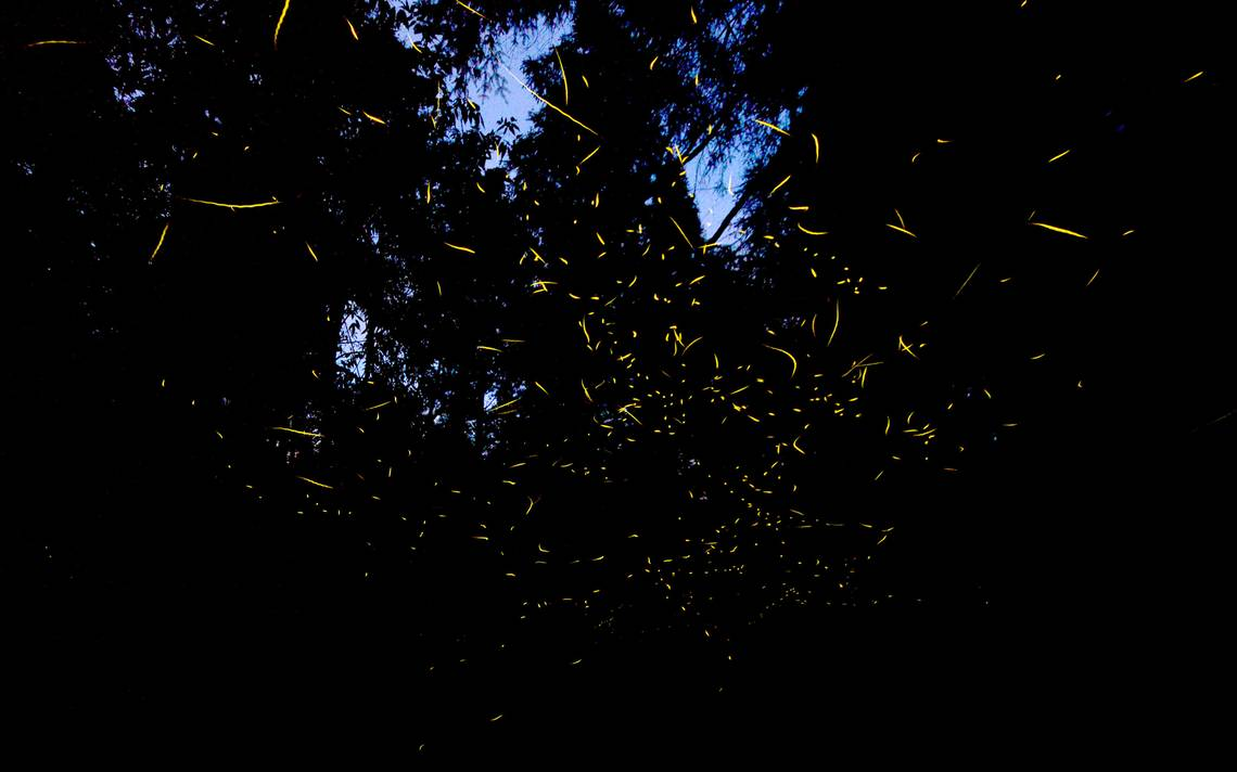 Sigue el vuelo de la luciérnaga