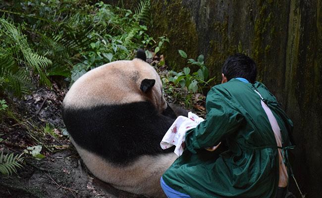 ? Nace el primer panda en el mundo de madre en cautiverio y padre salvaje