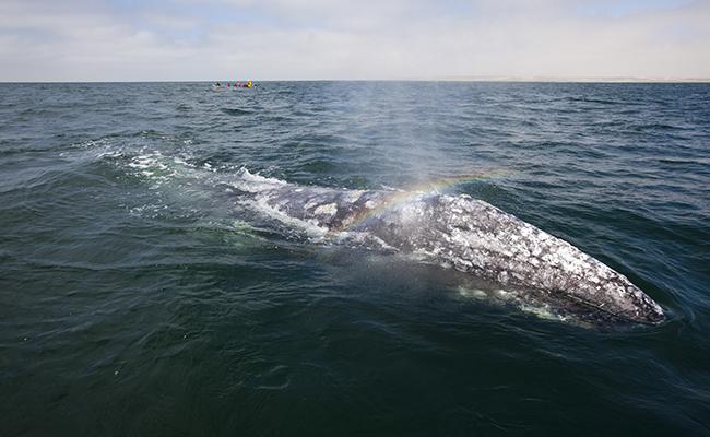 Buscan ballenas grises aguas más cálidas