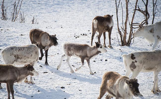 """La """"policía de los renos"""" pone orden en la tundra de Noruega"""