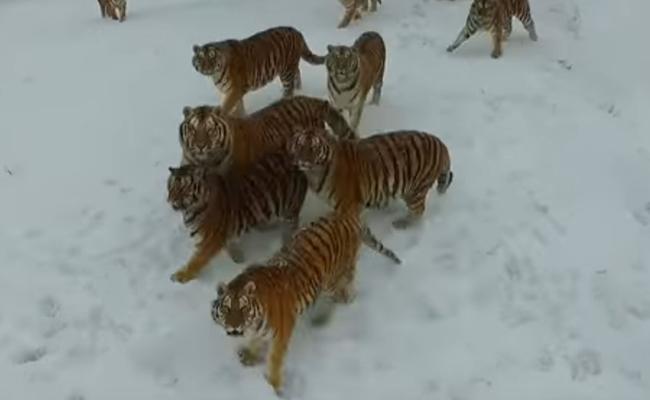 ¿Cómo se vive el ataque de un tigre? descubre como ocurrió en China