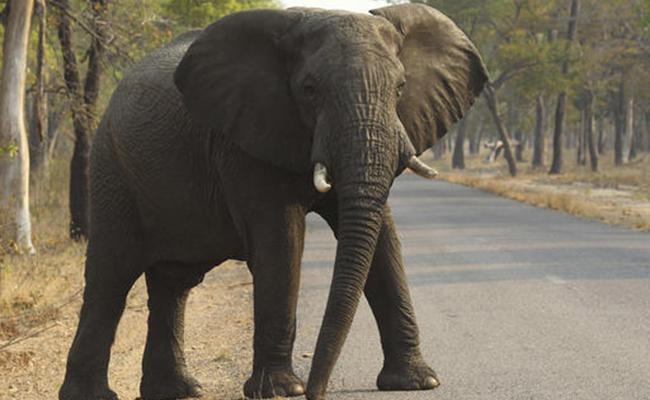 Chinos exigen en Tanzania protección de los elefantes