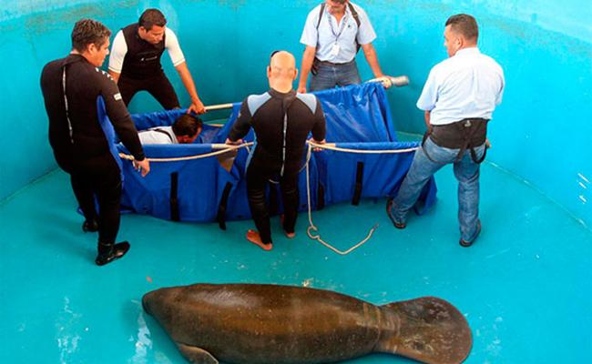 Rescatan a manatí en costas del Puerto de Veracruz