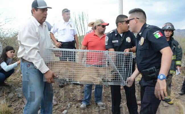 Atrapan a puma en un fraccionamiento de Chihuahua