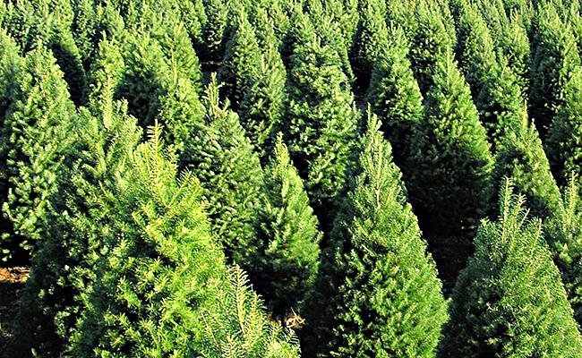 Inicia campaña para acopio de árboles de navidad