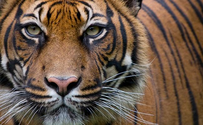 Tigre mata a turista en zoológico de China