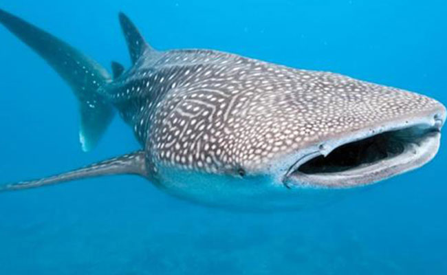 Evitarán en BCS que se  lesionen tiburones ballena