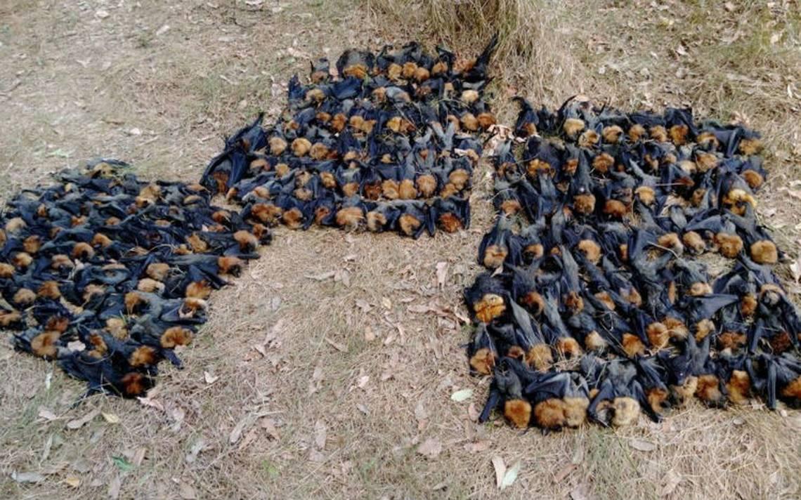 Ola de calor mata a cientos de murciélagos en Sidney
