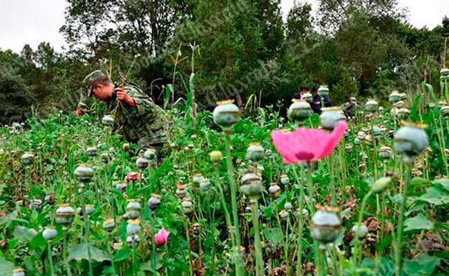Ejército asegura plantío de Amapola en Hueyotlipan, Tlaxcala