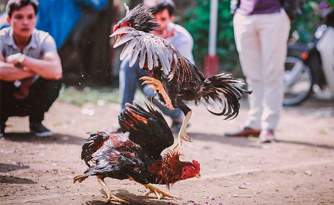 Pugna por mantener peleas de gallo en todo Veracruz ?