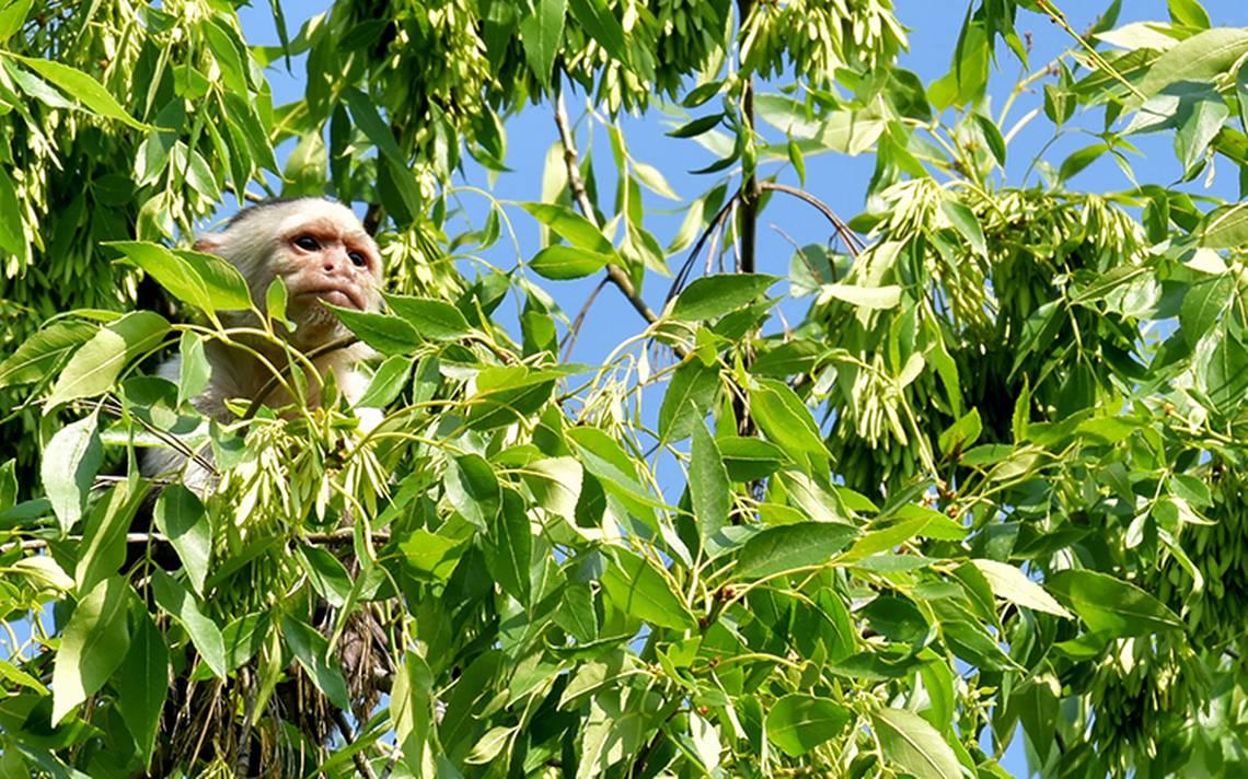 Este será el destino del mono capuchino capturado en Reforma