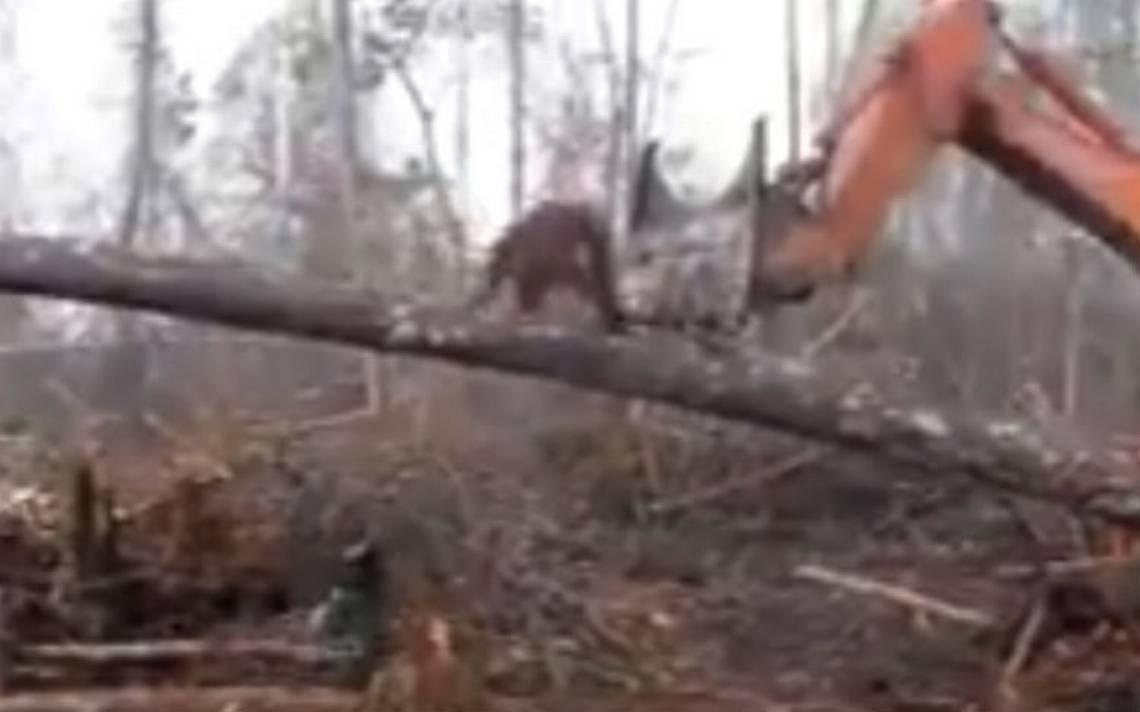 [Video] Un orangután pelea con una excavadora tratando de proteger su hogar