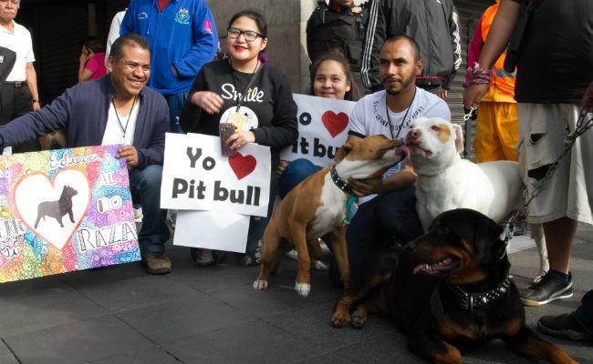 [Fotos] Con caminata buscan desmitificar a los pitbulls