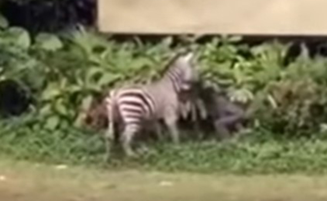 Cebra ataca a cuidador en zoológico