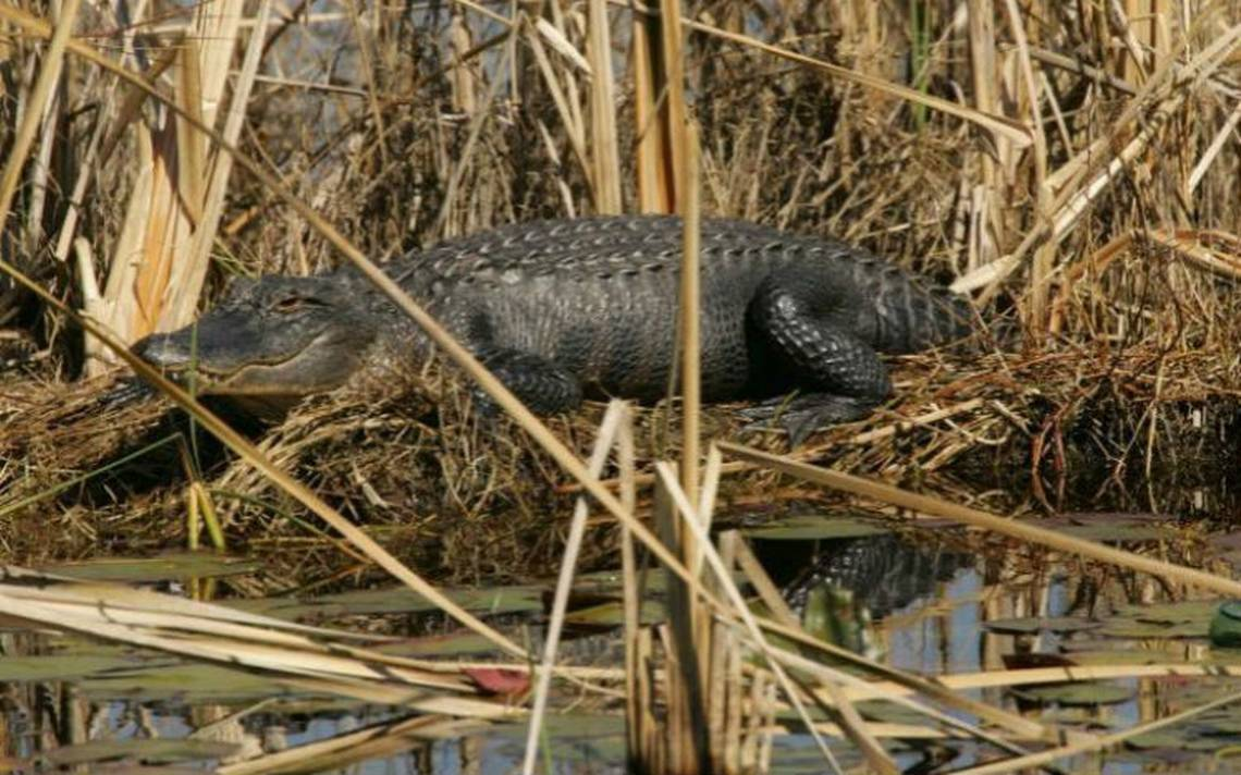 Policía investiga posible ataque de caimán a mujer en Florida