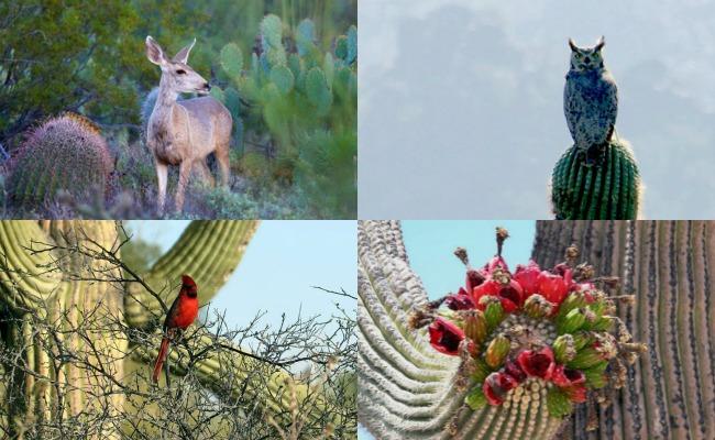 Bosque de Sahuaros, los soldados del desierto de Sonora
