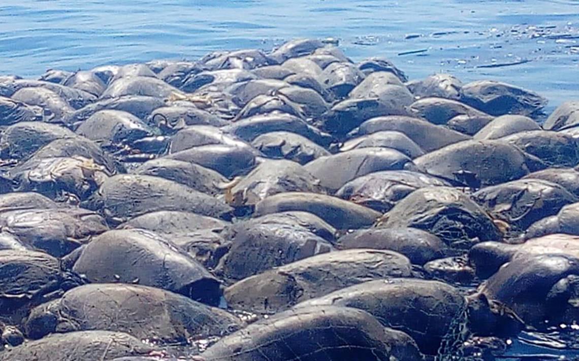 Mueren 300 tortuguitas al quedar atrapadas en redes de barcos atuneros, en Oaxaca