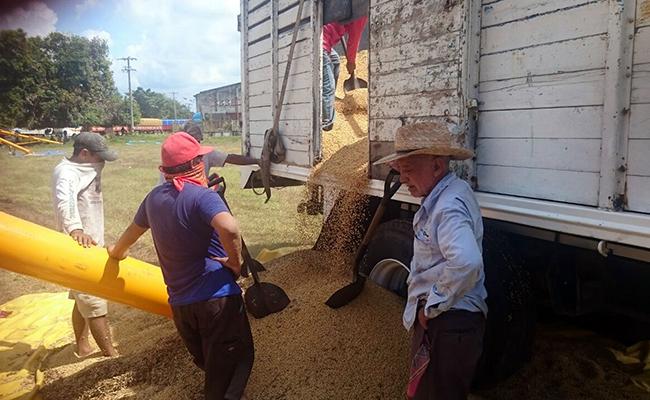 Soyeros inician siembra  de semilla tradicional