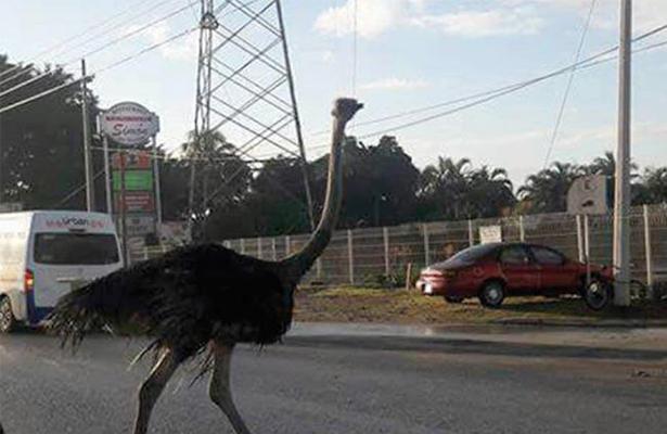 Avestruces desquician tráfico en Tampico