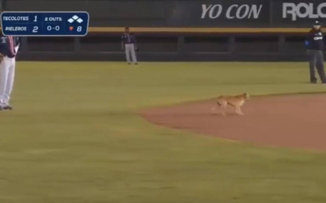 [Video] Perrito se cruza en pleno juego de béisbol y pone de buenas al estadio