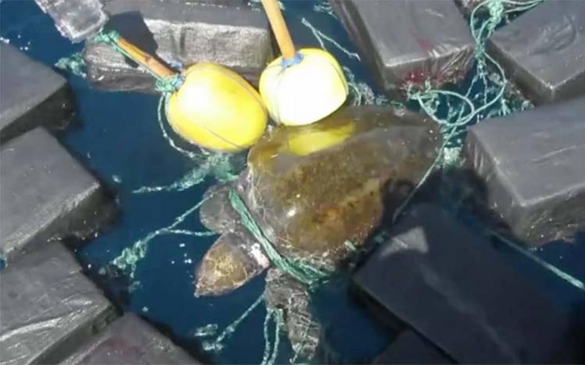 [Video] Guardia Costera de EU rescata a tortuga atrapada entre 800 kilos de cocaína