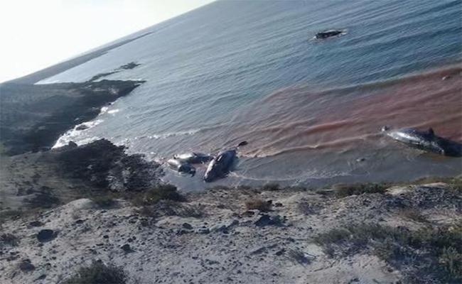 Hallan 7 ballenas muertas en Baja California Sur