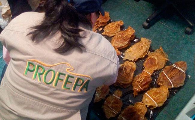 Profepa asegura 375 vejigas de Totoaba en Tijuana