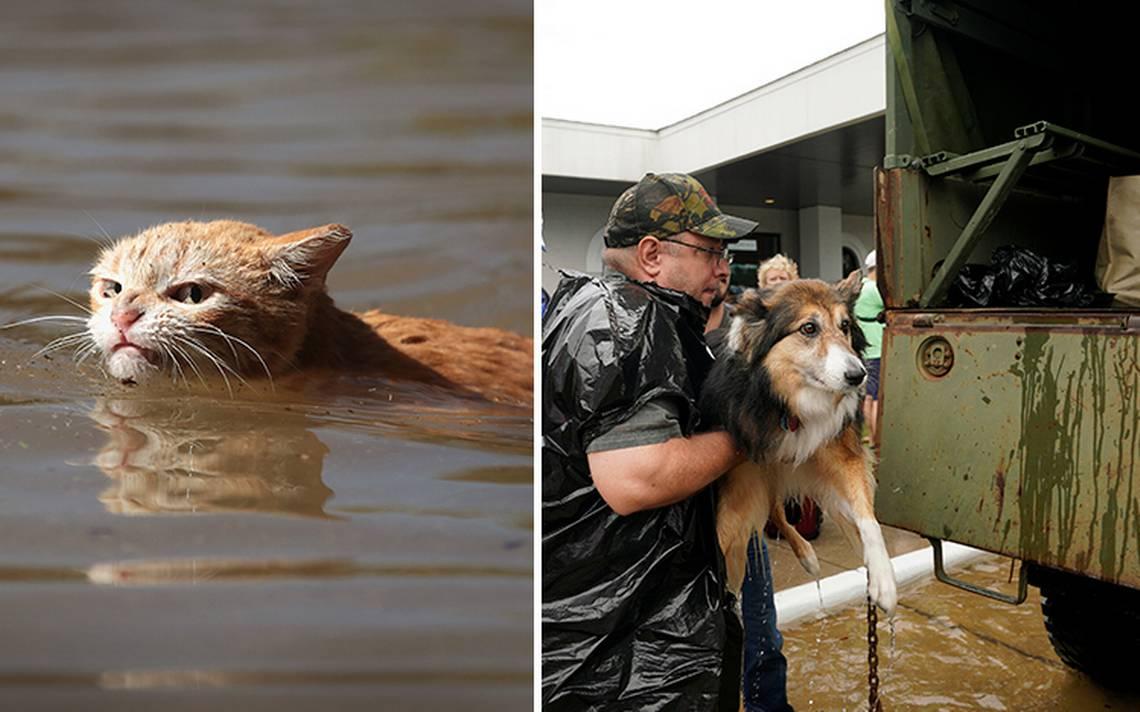 Ellos también sufren: mascotas a la deriva por paso de Harvey en Texas
