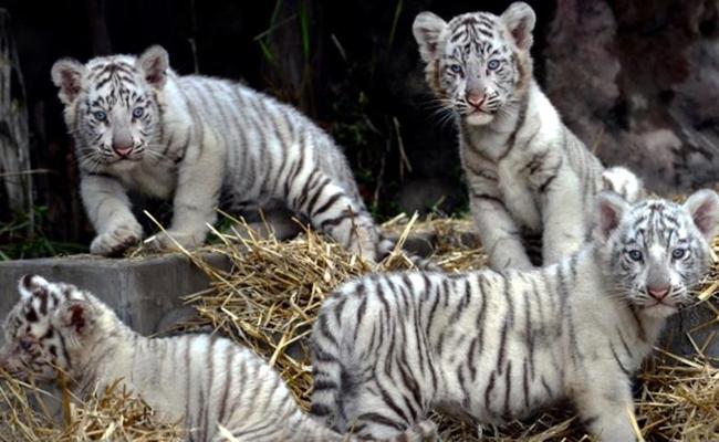 Zoológico exhibirá a cuatro cachorros tigres de Bengala