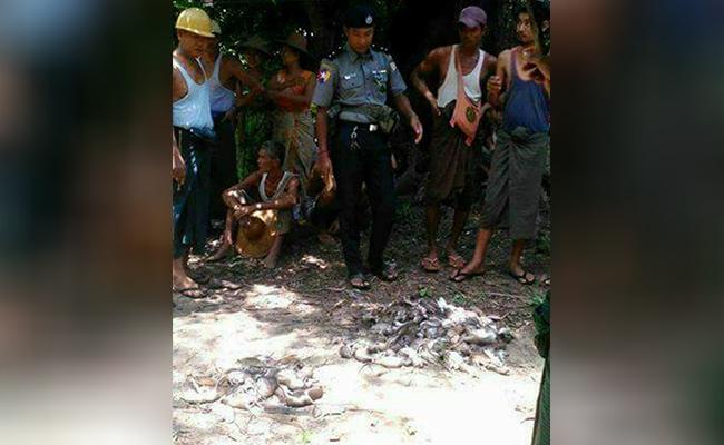 ¿Desempleado? Pagan por matar a ratas invasoras en isla de Birmania